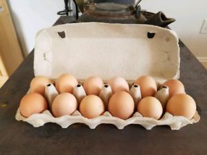 Pure Black Australorp Hatching Eggs