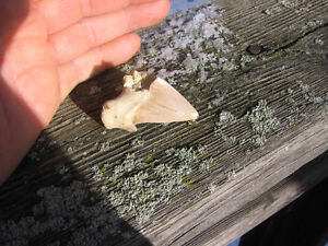 fossilized shark tooth IN BANCROFT Kawartha Lakes Peterborough Area image 3