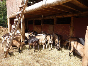 Dairy Goats/ bred and unbred does and breeding bucks for sale Prince George British Columbia image 7