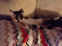 Free beautiful calico kitten (ENDERBY)