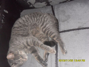 Lost grey male cat Cornwall!