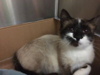 RESCUED SIAM - may be part Siamese? Very gentle and loving.