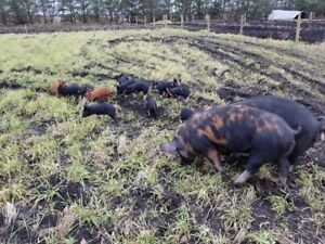 Pigs Piglets for sale