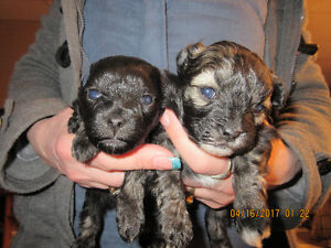 Hypoallergenic non-shed small male pups