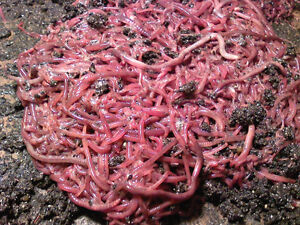 Red Wiggler Worms /  Worm Casting /European Nightcrawlers