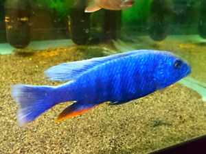 15 full size male cichlids $35/each or 2 for $60