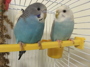 2 young parakeets & cage for sale