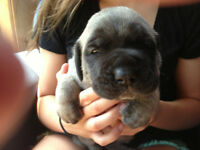Registered English Mastiff Puppies