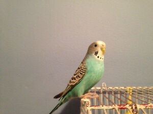 Budgie & Cage for $30