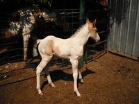 Buckskin Tobiano stud colt for sale