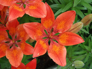Perennial Orange Lily Bulb & Seeds