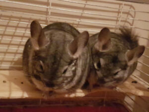 (REHOMING THE PAIR) VOLCANIC ASH GREY CHINCHILLAS