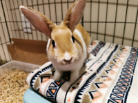 4 month old Dutch Bunny