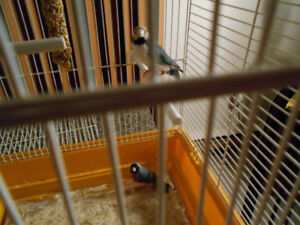 BLUE GOULDIAN FINCH NOT RELATED PAIR COME WITH CAGE  .