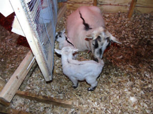 Male only Pygmy Goat for Sale (FEMALE HAS BEEN SOLD)