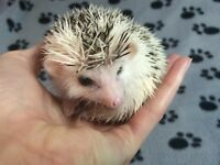 Baby Hedgehogs, Ready Now! REDUCED