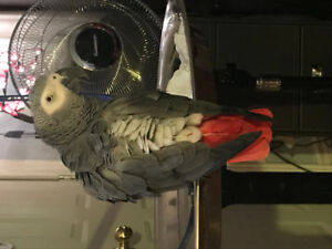 AFRICAN PARROT LOST, Companion to a disabled person