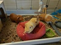 3 x Guinea Pigs with cage