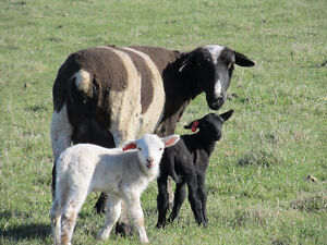 Orphan Lambs for sale