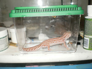 female snow leapord gecko for sale with tank