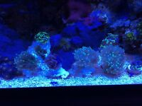Coral frags torch hammer frog spawn gold hammer