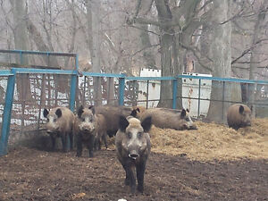 Russian Wild Boar piglet babies, young pigs & adults
