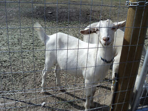 2 Goats for sale