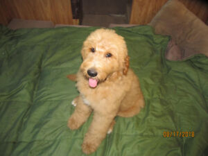 Goldendoodle puppy. Gorgeous dark gold male.