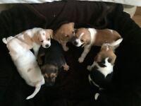 F1b Puggle puppy's