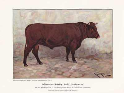 """Schlesisches Rotvieh Bulle """"Gundermann"""" FARBDRUCK von 1925 Reprint"""