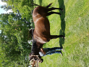 Quarter horse Mare 8 years old