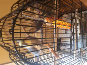Selling two cocatiels one male and female with cage/food