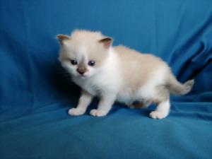 Ragdoll Balinese Kittens - 2 Still Available!