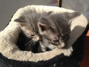 Beautiful Kittens for sale!