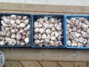 Garlic for Seed or Consuming