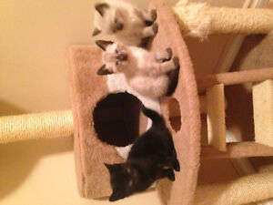 Part siemise kittens for sale ready to go home soon!