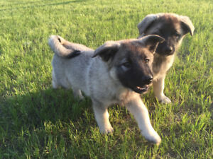 Healthy Elkhound Puppies