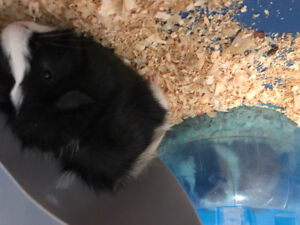 two Guinea pig for sale