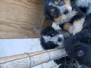 Border Collie x Pyranees puppies for new homes