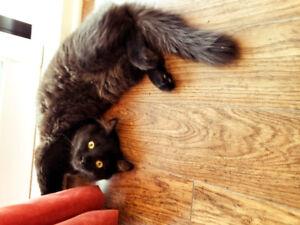 chat femelle noire à donner