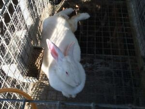 Lapin et cage
