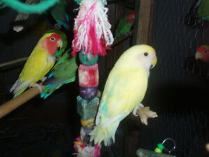 LOVEBIRDS FOR SALE BABIES (READY TO HAND FEE) London Ontario image 3