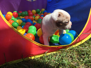 Boston Terrier X Puppies ***only 1 female***