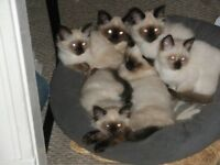 SEAL POINT SIAMESE/HIMALAYAN KITTENS FOR SALE