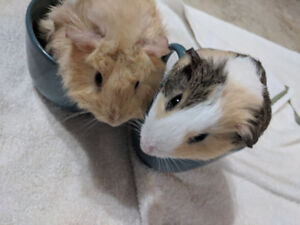 Two Guinea Pigs and their cage