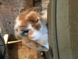 Last holland lop baby bunny ready for his new home