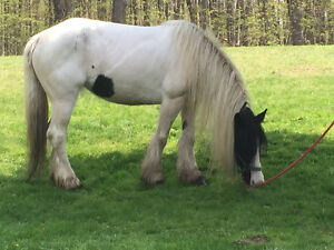 Sweet 6yr old Gypsy Vanner Mare