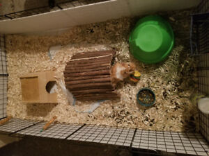 GUINEA PIG, CAGE AND ACCESSORIES