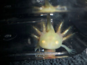 Axolotl GFP and non