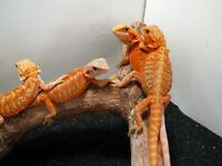 High end Bearded Dragons Available